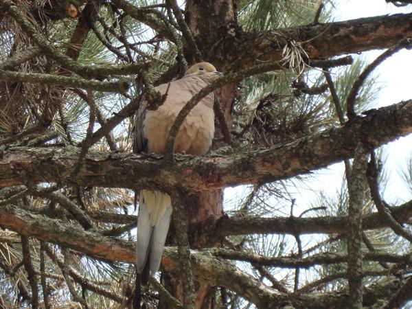 bird-in-pine