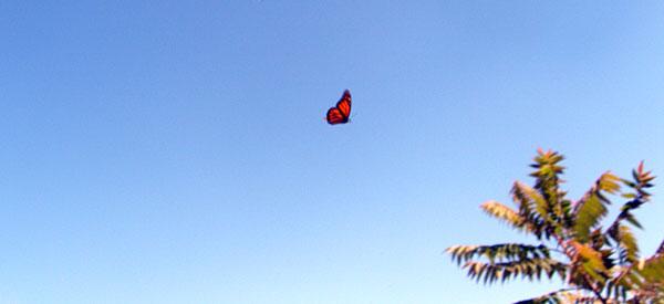 monarch-grab-shot