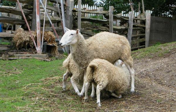 riverdale-farm-sheep