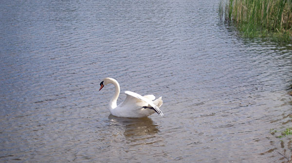 mr-swan